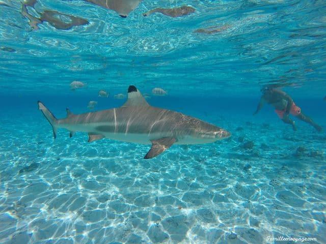 voyage en famille en polynésie requin pointe noire