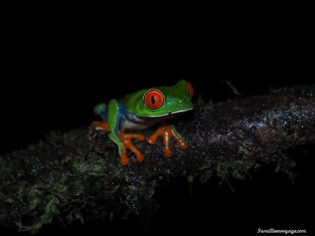 grenouille aux yeux rouge costa rica