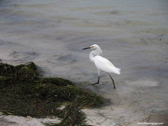 caladesi island floride bird